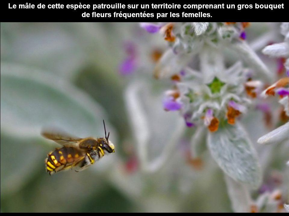 Le mâle de cette espèce patrouille sur un territoire comprenant un gros bouquet de fleurs fréquentées par les femelles.