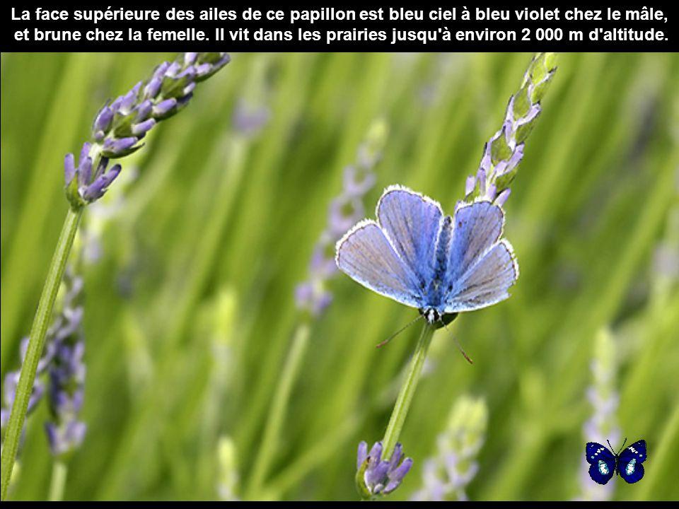 La face supérieure des ailes de ce papillon est bleu ciel à bleu violet chez le mâle, et brune chez la femelle.