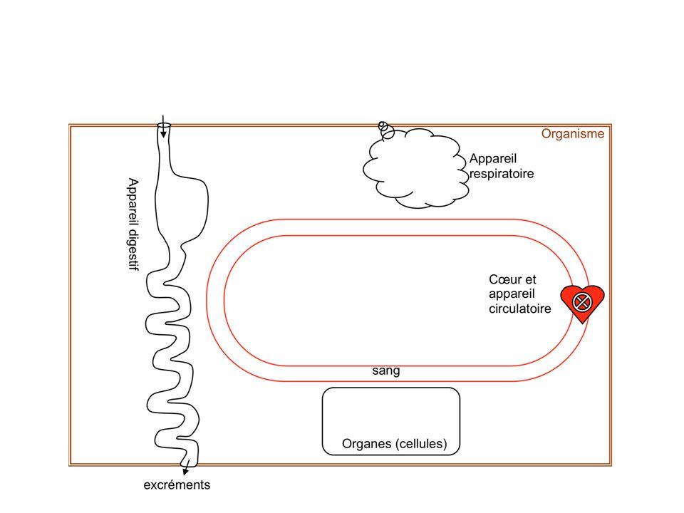 2- Si hypoglycémie FOIE Glycogénolyse Glucose Glycogène Glycémie < 1 g/L Glycémie = 1 g/L Glucagon +