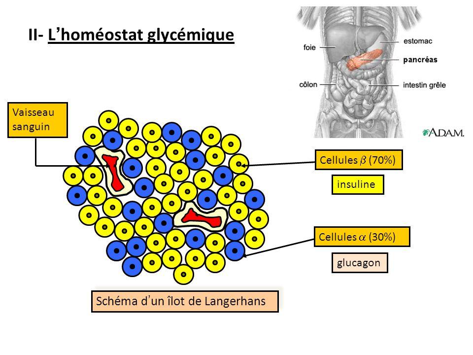 Schéma d un îlot de Langerhans Schéma d un îlot de Langerhans Cellules (70%)Cellules (30%) Vaisseau sanguin insuline glucagon II- Lhoméostat glycémique