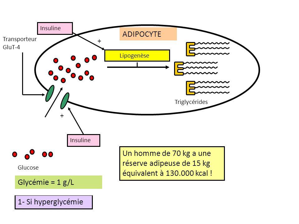 1- Si hyperglycémie ADIPOCYTE Glucose Glycémie > 1 g/L Transporteur GluT-4 Insuline + Insuline + Lipogenèse Un homme de 70 kg a une réserve adipeuse de 15 kg équivalent à 130.000 kcal .