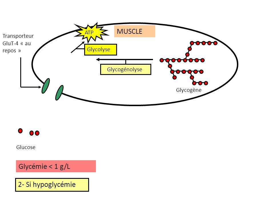 2- Si hypoglycémie Glycogénolyse Glucose Glycogène Glycémie < 1 g/L MUSCLE Glycolyse ATP Transporteur GluT-4 « au repos »