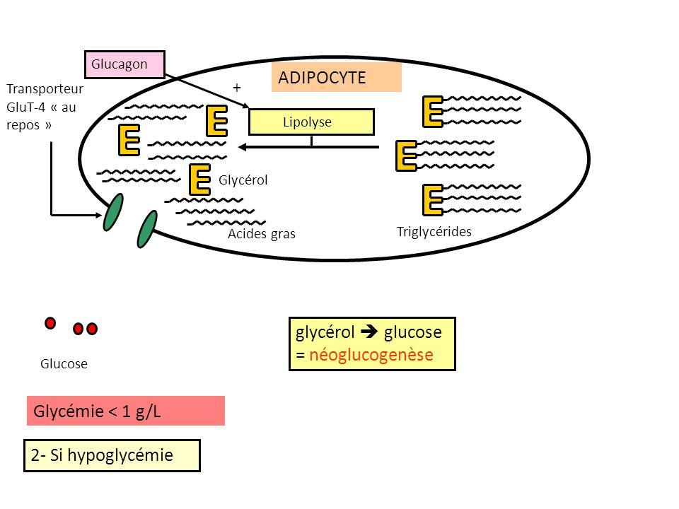 2- Si hypoglycémie ADIPOCYTE Glycémie < 1 g/L Transporteur GluT-4 « au repos » Glucagon + glycérol glucose = néoglucogenèse Lipolyse Triglycérides Glucose Acides gras Glycérol