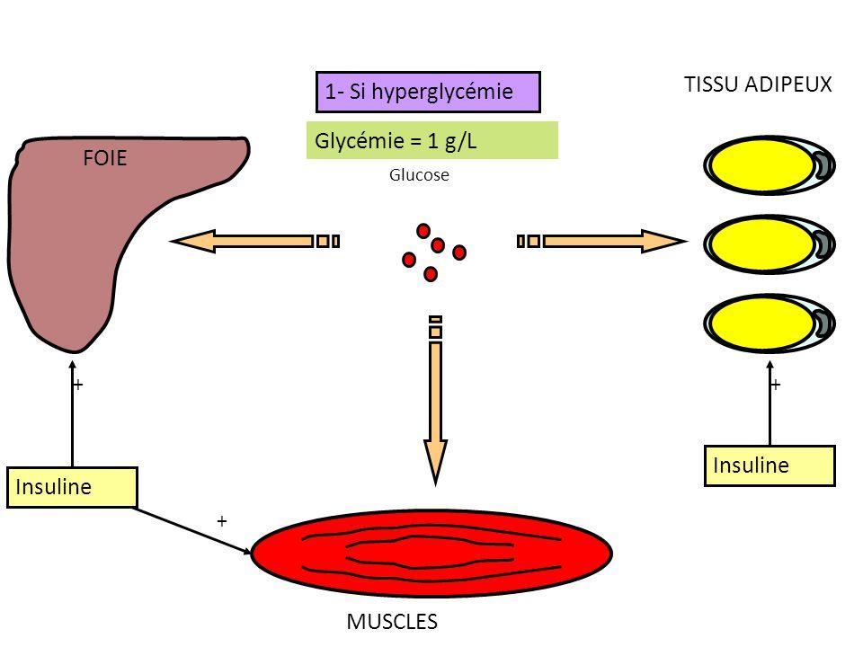 FOIE MUSCLES TISSU ADIPEUX Glycémie > 1 g/L Glycémie = 1 g/L 1- Si hyperglycémie Glucose Insuline + + +
