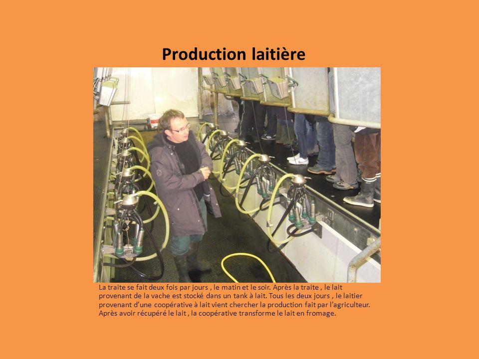 Production laitière La traite se fait deux fois par jours, le matin et le soir. Après la traite, le lait provenant de la vache est stocké dans un tank