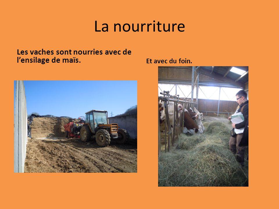 La nourriture Les vaches sont nourries avec de lensilage de maïs. Et avec du foin.