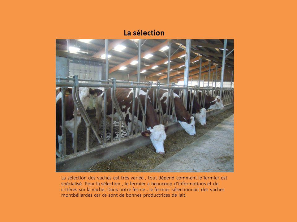 La sélection La sélection des vaches est très variée, tout dépend comment le fermier est spécialisé.
