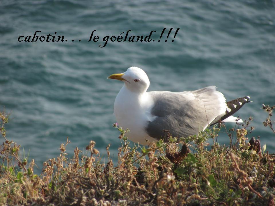 cabotin… le goéland.!!!