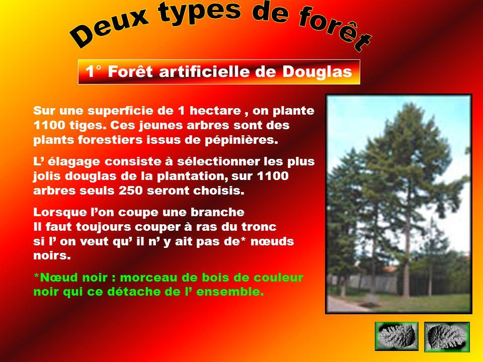1° Forêt artificielle de Douglas Sur une superficie de 1 hectare, on plante 1100 tiges. Ces jeunes arbres sont des plants forestiers issus de pépinièr