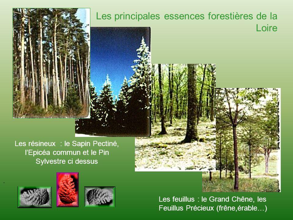 . Les principales essences forestières de la Loire Les résineux : le Sapin Pectiné, lEpicéa commun et le Pin Sylvestre ci dessus. Les feuillus : le Gr
