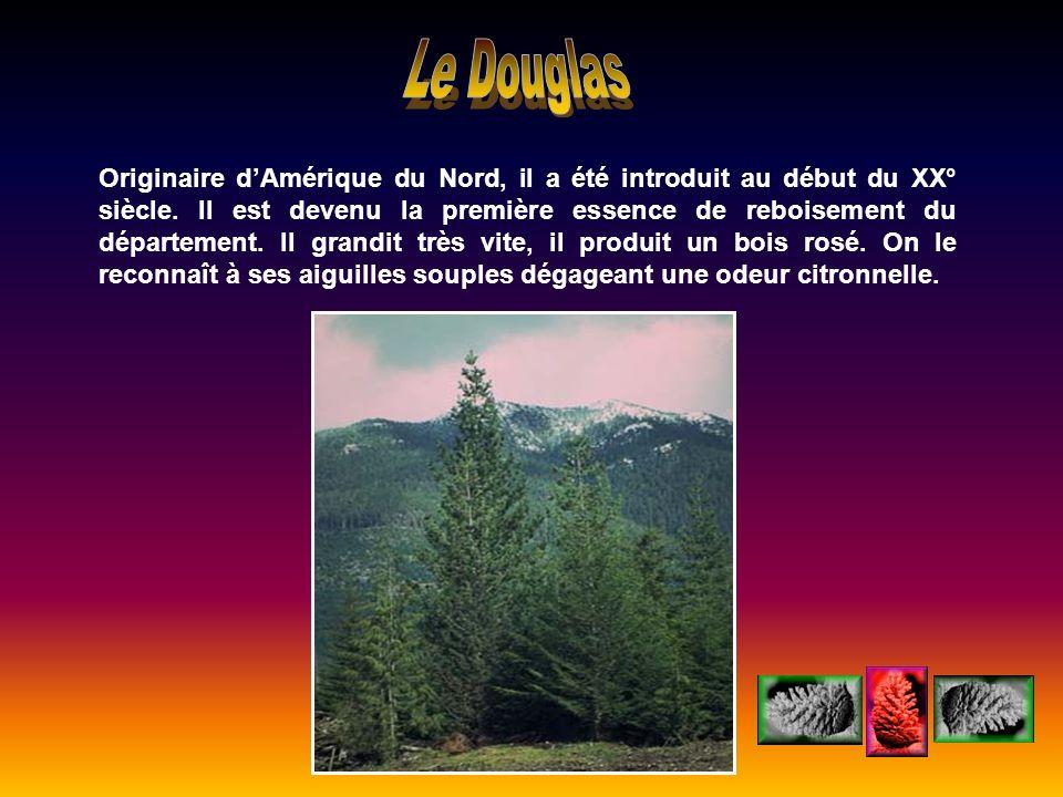 Originaire dAmérique du Nord, il a été introduit au début du XX° siècle. Il est devenu la première essence de reboisement du département. Il grandit t