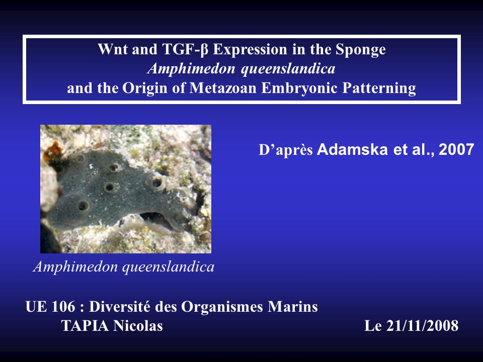 Wnt and TGF-β Expression in the Sponge Amphimedon queenslandica and the Origin of Metazoan Embryonic Patterning Daprès Adamska et al., 2007 UE 106 : D
