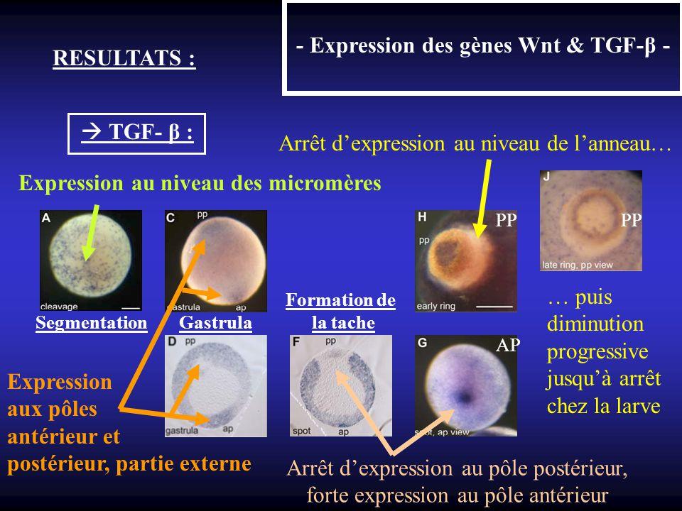 - Expression des gènes Wnt & TGF-β - RESULTATS : TGF- β : Expression au niveau des micromères Segmentation Gastrula la tache AP PP Expression aux pôle