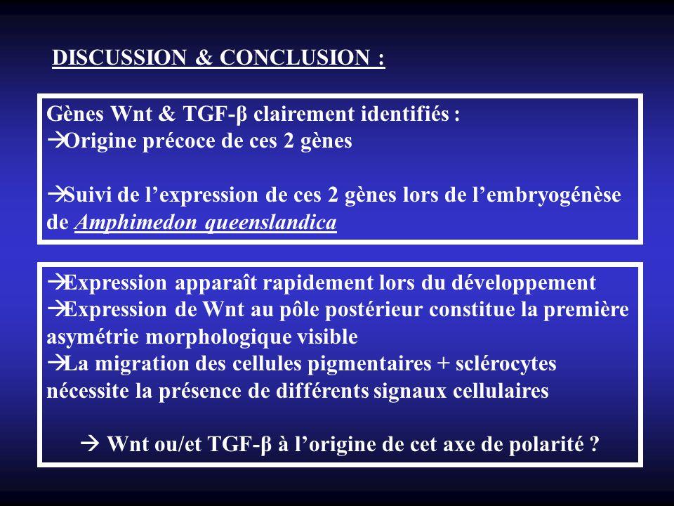 DISCUSSION & CONCLUSION : Gènes Wnt & TGF-β clairement identifiés : Origine précoce de ces 2 gènes Suivi de lexpression de ces 2 gènes lors de lembryo