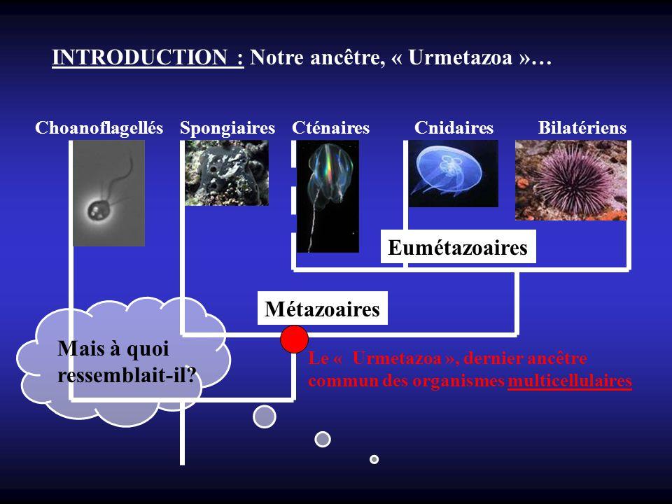 INTRODUCTION : Notre ancêtre, « Urmetazoa »… Choanoflagellés Spongiaires Cténaires Cnidaires Bilatériens Métazoaires Eumétazoaires Le « Urmetazoa », d