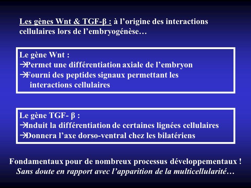 Les gènes Wnt & TGF-β : à lorigine des interactions cellulaires lors de lembryogénèse… Le gène Wnt : Permet une différentiation axiale de lembryon Fou