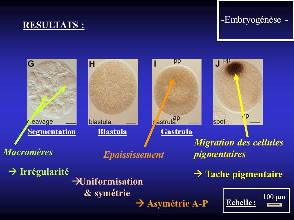 RESULTATS : -Embryogénèse - Segmentation Blastula Gastrula Echelle : 100 μm Uniformisation & symétrie Macromères Irrégularité Asymétrie A-P Epaississe