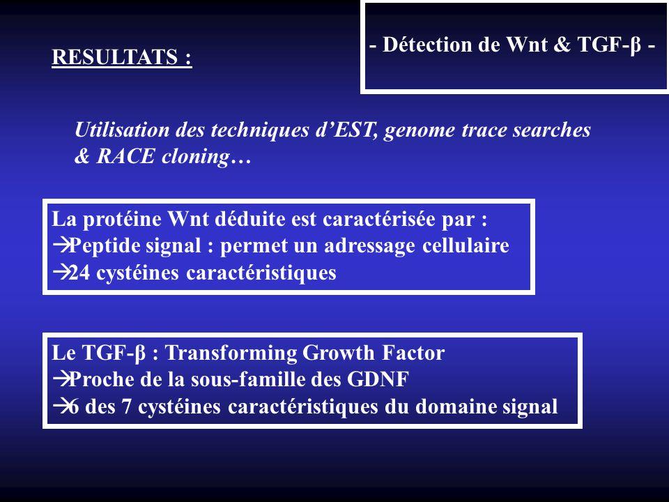 - Détection de Wnt & TGF-β - RESULTATS : Utilisation des techniques dEST, genome trace searches & RACE cloning… La protéine Wnt déduite est caractéris