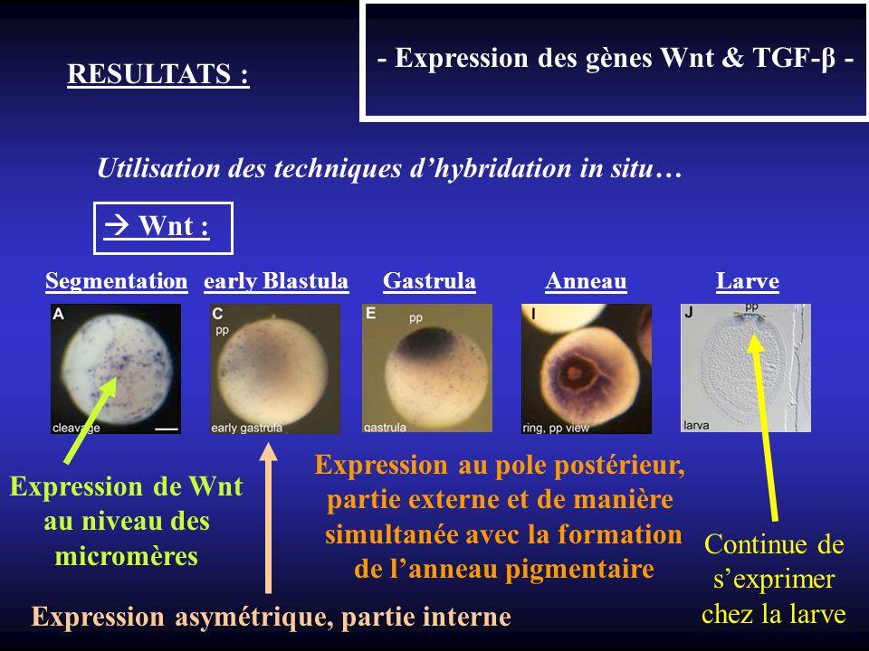 - Expression des gènes Wnt & TGF-β - RESULTATS : Utilisation des techniques dhybridation in situ… Wnt : Segmentation early Blastula Gastrula Anneau La