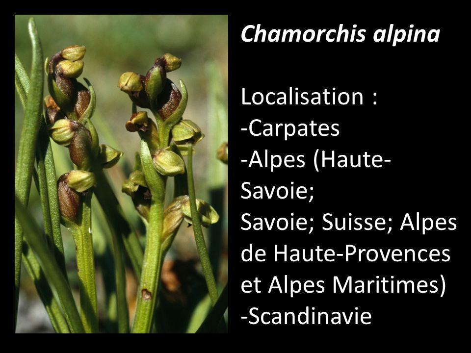 Chamorchis alpina Localisation : -Carpates -Alpes (Haute- Savoie; Savoie; Suisse; Alpes de Haute-Provences et Alpes Maritimes) -Scandinavie