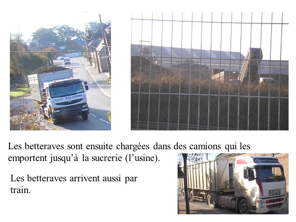 Les betteraves sont ensuite chargées dans des camions qui les emportent jusquà la sucrerie (lusine).
