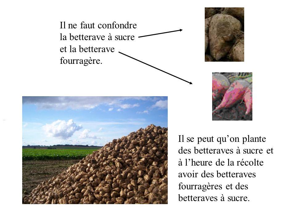 Il ne faut confondre la betterave à sucre et la betterave fourragère.