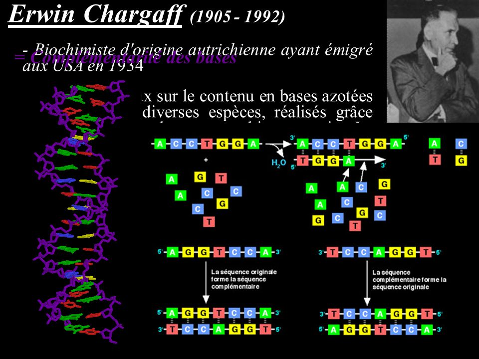 Erwin Chargaff (1905 - 1992) - Biochimiste d'origine autrichienne ayant émigré aux USA en 1934 - En 1950, travaux sur le contenu en bases azotées de l