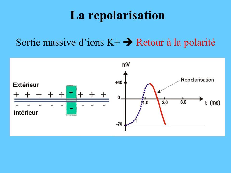 La repolarisation Sortie massive dions K+ Retour à la polarité - +