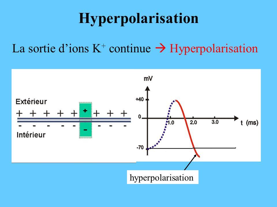 Hyperpolarisation La sortie dions K + continue Hyperpolarisation - + hyperpolarisation