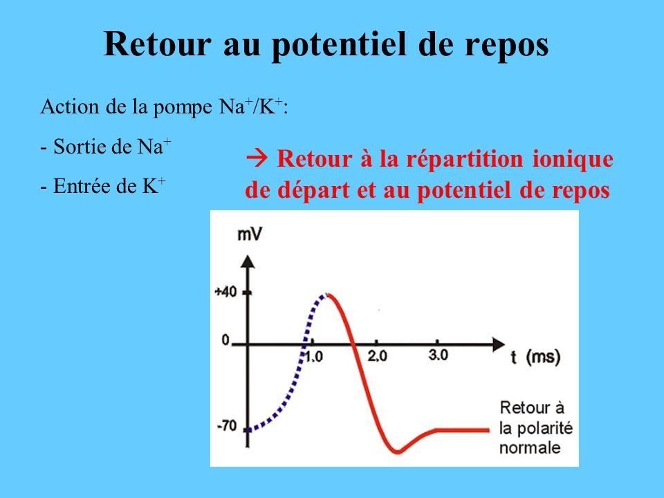 Retour au potentiel de repos Action de la pompe Na + /K + : - Sortie de Na + - Entrée de K + Retour à la répartition ionique de départ et au potentiel de repos