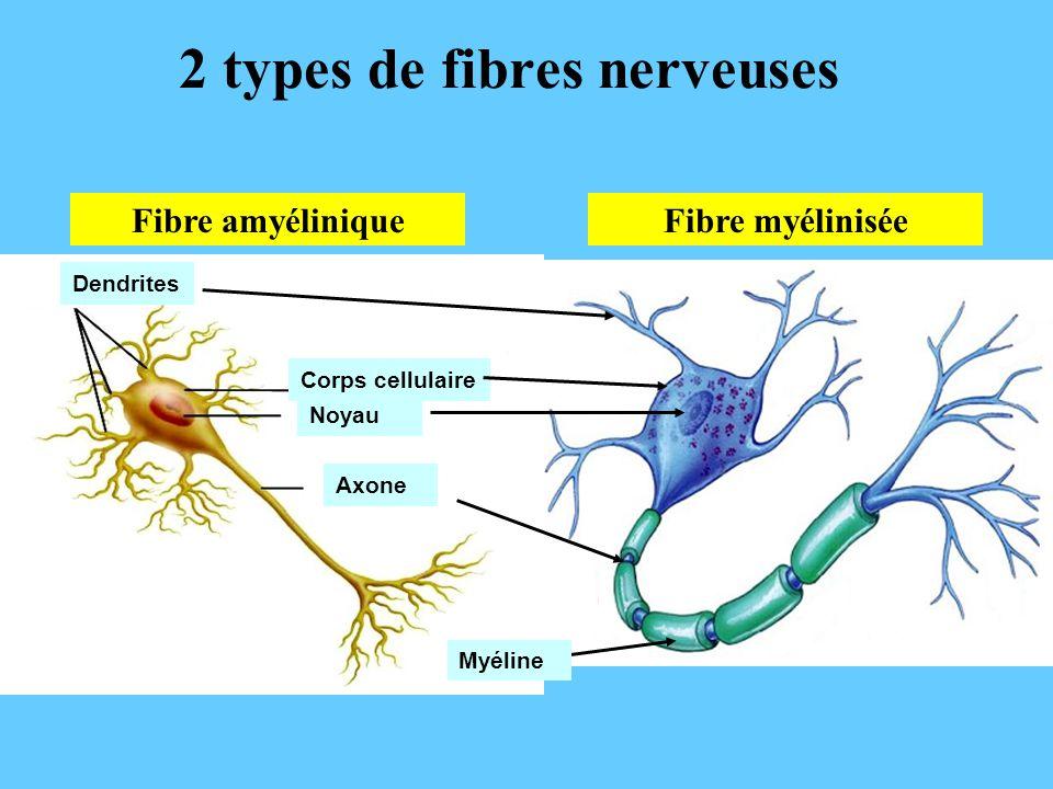 Fibre myélinisée 2 types de fibres nerveuses Fibre amyélinique AxoneCorps cellulaire Noyau Dendrites Myéline