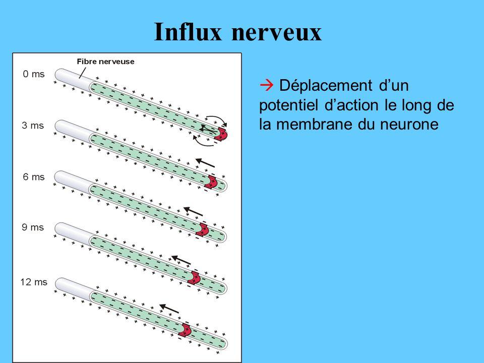 Déplacement dun potentiel daction le long de la membrane du neurone Influx nerveux