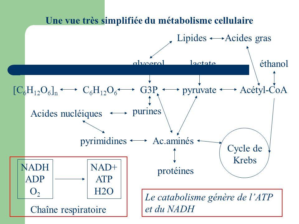 Une vue très simplifiée du métabolisme cellulaire [C 6 H 12 O 6 ] n C 6 H 12 O 6 G3P glycerol purines pyruvateAcétyl-CoA lactate Acides gras éthanol L
