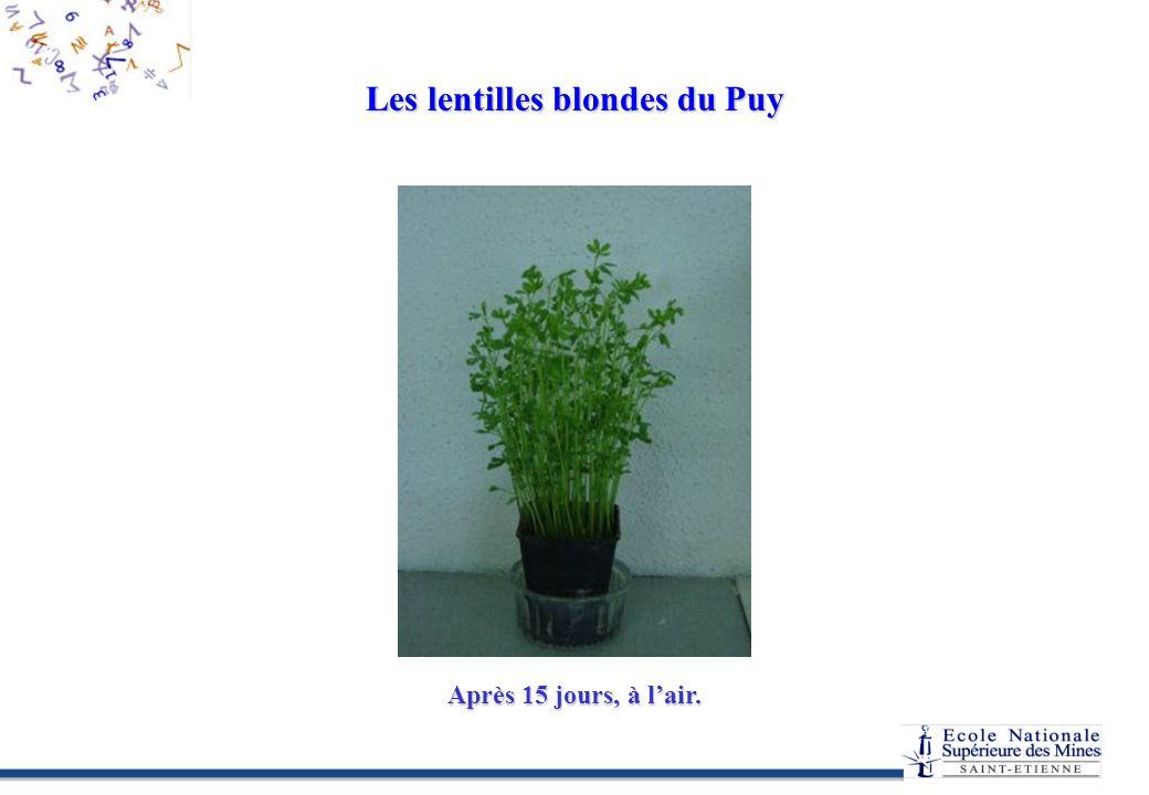 Les lentilles blondes du Puy Après 15 jours, à lair.