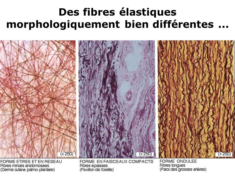16 Des fibres élastiques morphologiquement bien différentes...