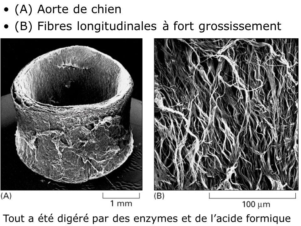 17 Fig 19-51 (A) Aorte de chien (B) Fibres longitudinales à fort grossissement Tout a été digéré par des enzymes et de lacide formique