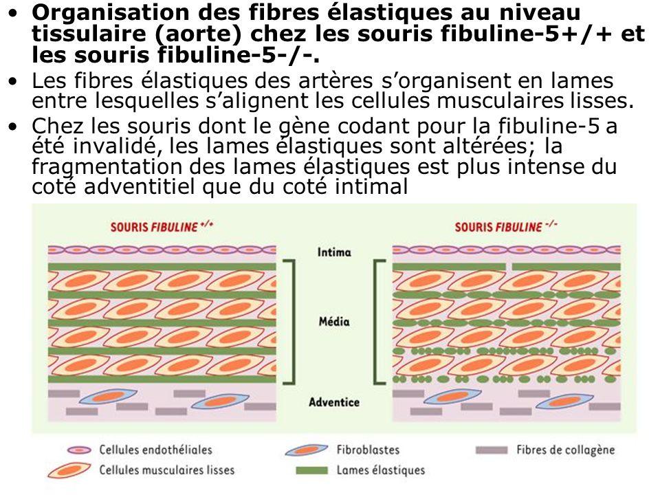 19 Organisation des fibres élastiques au niveau tissulaire (aorte) chez les souris fibuline-5+/+ et les souris fibuline-5-/-. Les fibres élastiques de
