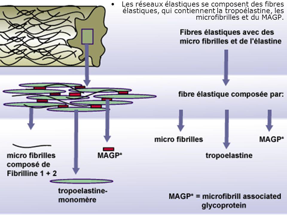 24 Les réseaux élastiques se composent des fibres élastiques, qui contiennent la tropoélastine, les microfibrilles et du MAGP.