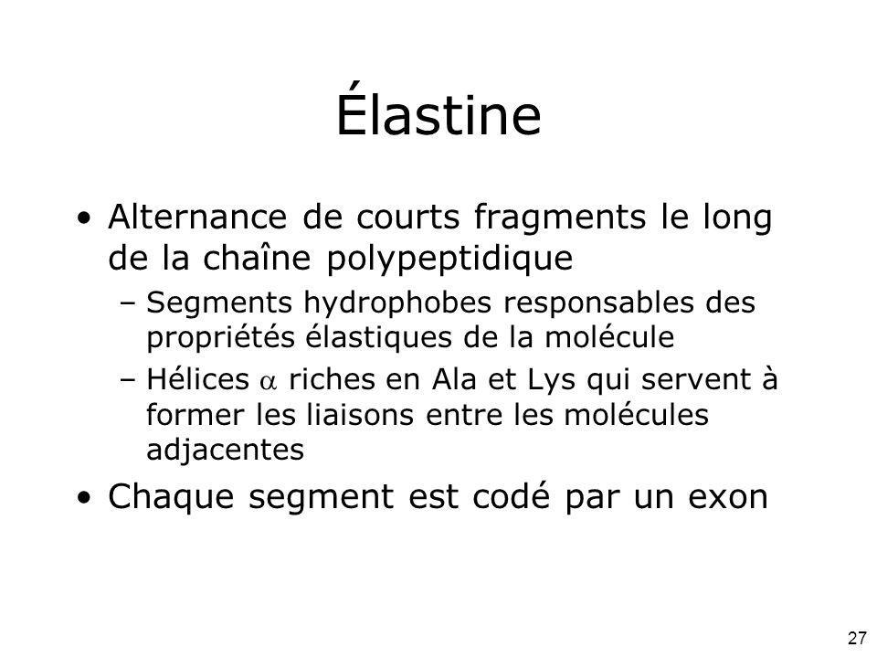 27 Élastine Alternance de courts fragments le long de la chaîne polypeptidique –Segments hydrophobes responsables des propriétés élastiques de la molé