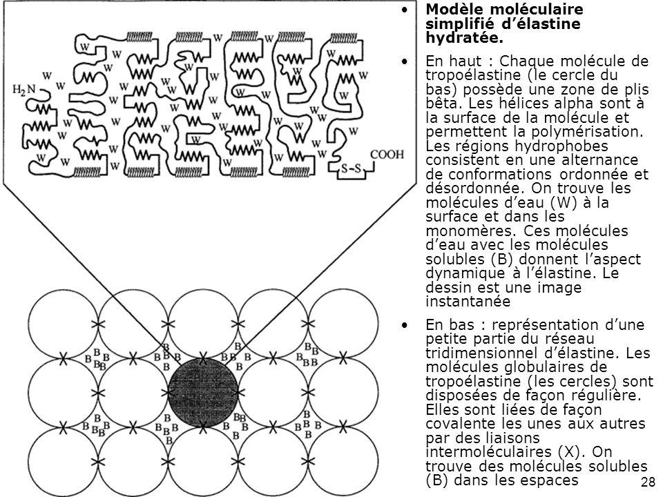 28 Debelle,L1999 (fig6) The structures of elastins and their function. Biochimie. 1999 ;81(10):981-94. Modèle moléculaire simplifié délastine hydratée