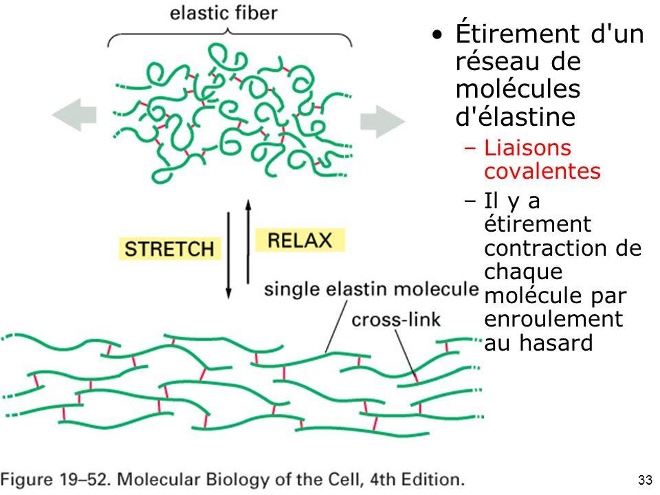 33 Fig 19-52 Étirement d'un réseau de molécules d'élastine –Liaisons covalentes –Il y a étirement contraction de chaque molécule par enroulement au ha