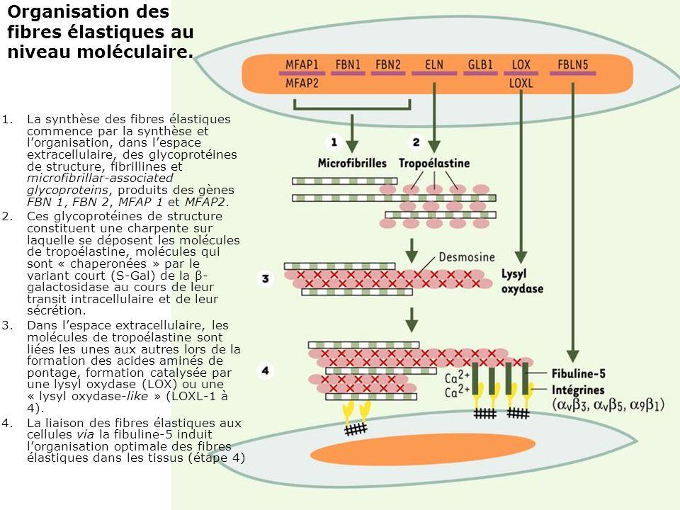 43 1.La synthèse des fibres élastiques commence par la synthèse et lorganisation, dans lespace extracellulaire, des glycoprotéines de structure, fibri