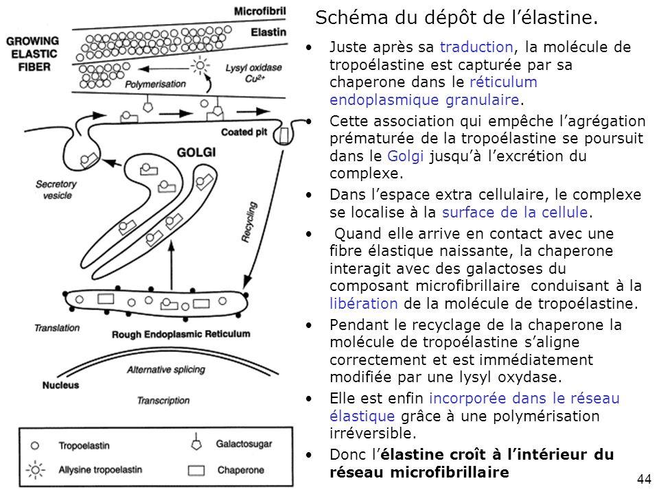 44 Schéma du dépôt de lélastine. Juste après sa traduction, la molécule de tropoélastine est capturée par sa chaperone dans le réticulum endoplasmique