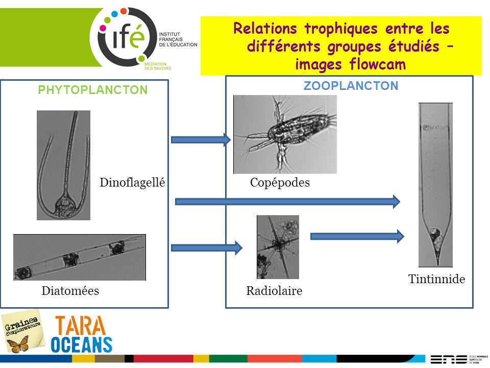 Dinoflagellé Radiolaire Copépodes Diatomées Tintinnide Relations trophiques entre les différents groupes étudiés – images flowcam PHYTOPLANCTON ZOOPLA