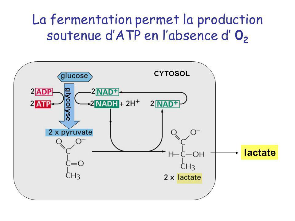 La fermentation permet la production soutenue dATP en labsence d 0 2 glycolyse CYTOSOL lactate