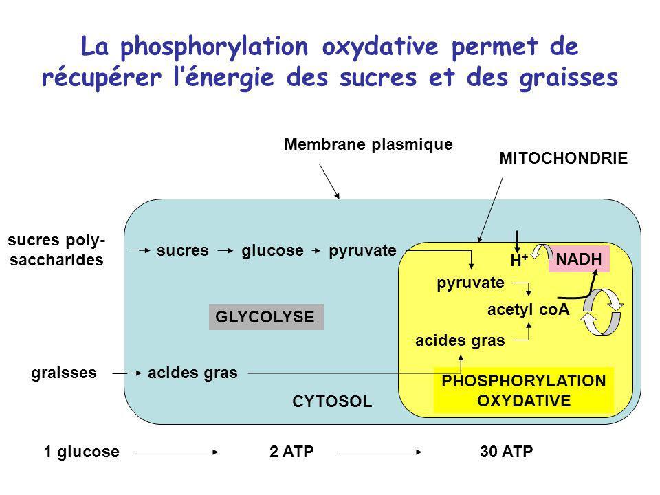 La phosphorylation oxydative permet de récupérer lénergie des sucres et des graisses sucres poly- saccharides graisses sucresglucosepyruvate acides gr