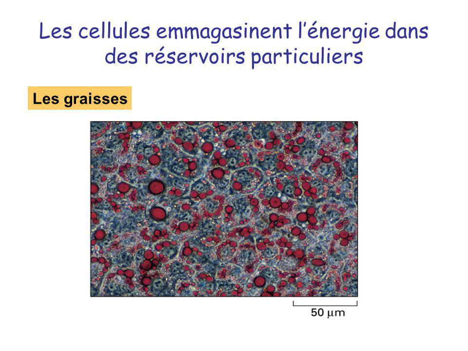 Les cellules emmagasinent lénergie dans des réservoirs particuliers Les graisses