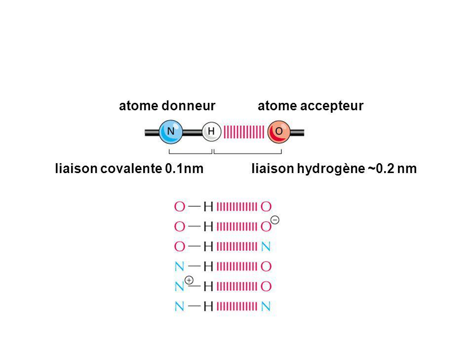 atome donneuratome accepteur liaison covalente 0.1nmliaison hydrogène ~0.2 nm