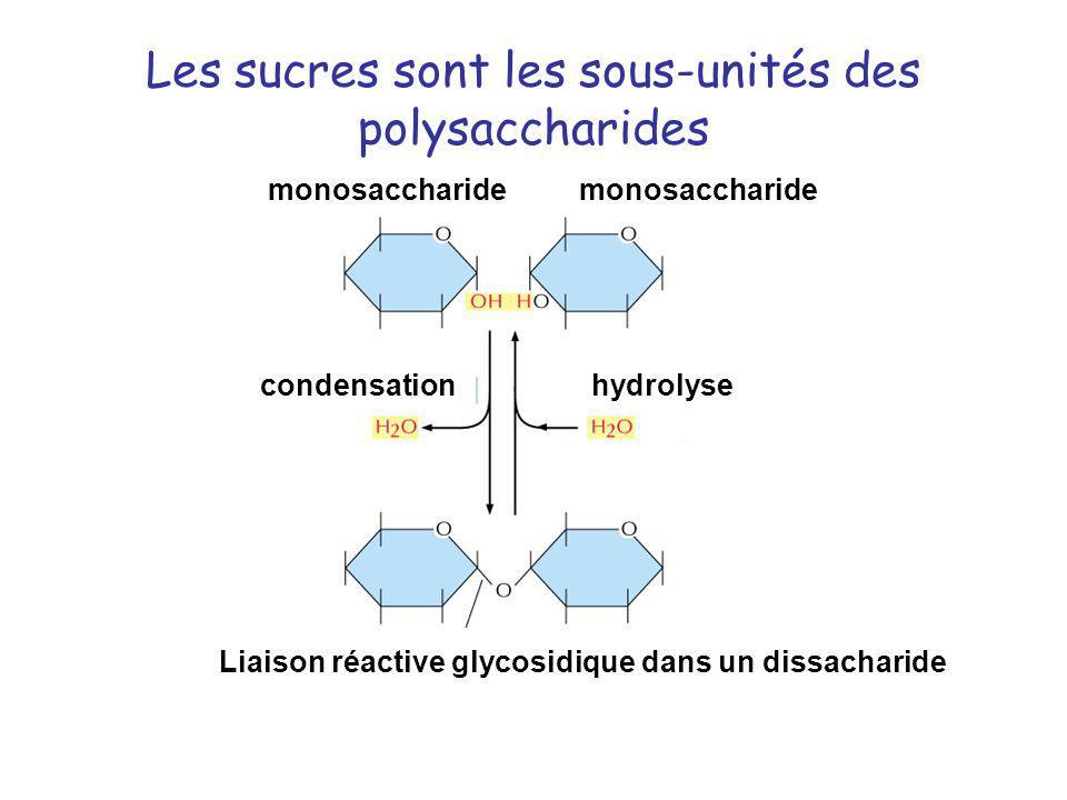 Les sucres sont les sous-unités des polysaccharides condensationhydrolyse Liaison réactive glycosidique dans un dissacharide monosaccharide
