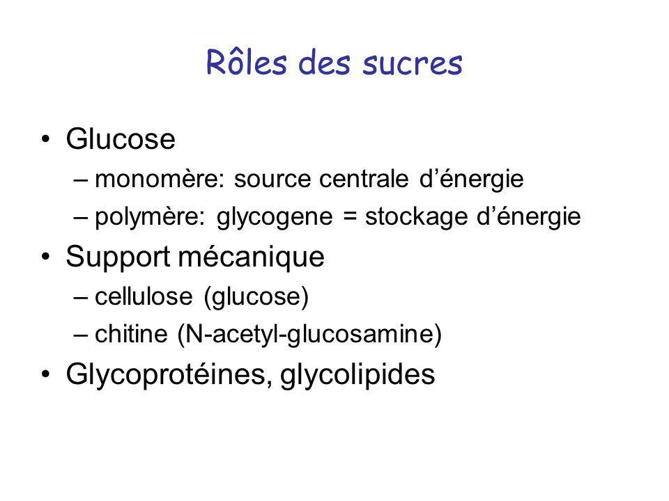 Rôles des sucres Glucose –monomère: source centrale dénergie –polymère: glycogene = stockage dénergie Support mécanique –cellulose (glucose) –chitine